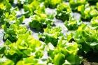 Zeleninová sadba